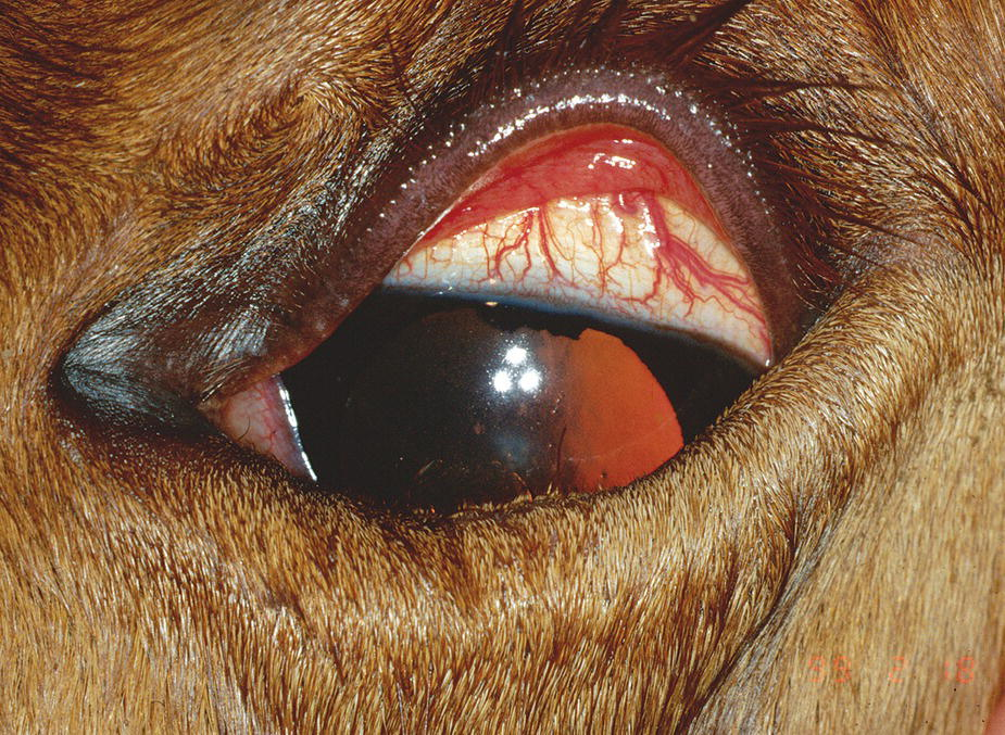 Photo displaying a Thoroughbred foal's eye with entropion and secondary blepharospasm worsened the lid defect.