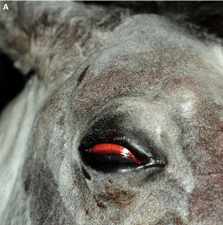 Photo displaying an orbital trauma and fracture of the supraorbital process in a horse's eye with the upper lid swelling, exophthalmia, ventral strabismus, and dorsal subconjunctival hemorrhage.