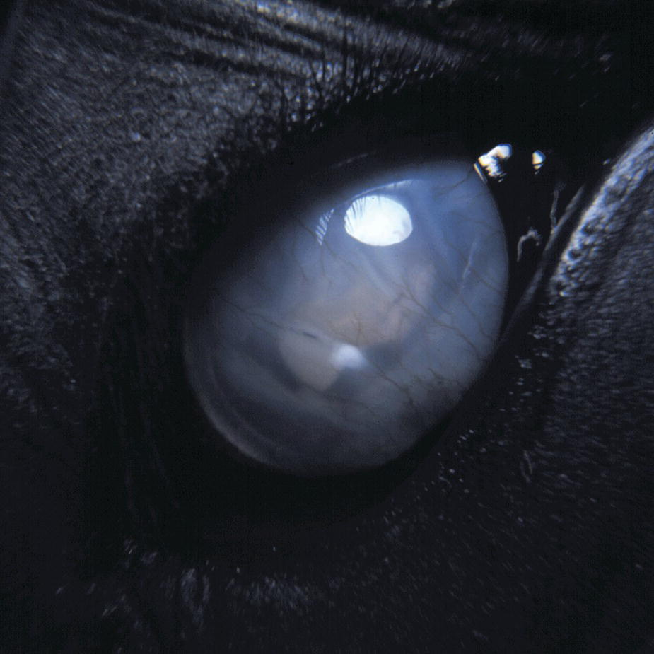 Photo displaying phthisis bulbus in a 10-year-old horse's eye.