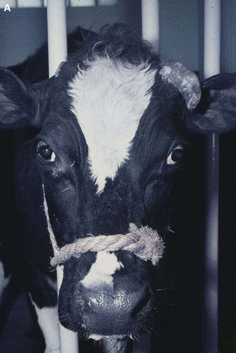 Photo displaying a Holstein cow's eye with an inherited strabismus, with an exposed lateral bulbar conjunctiva and esotropia (convergent strabismus).