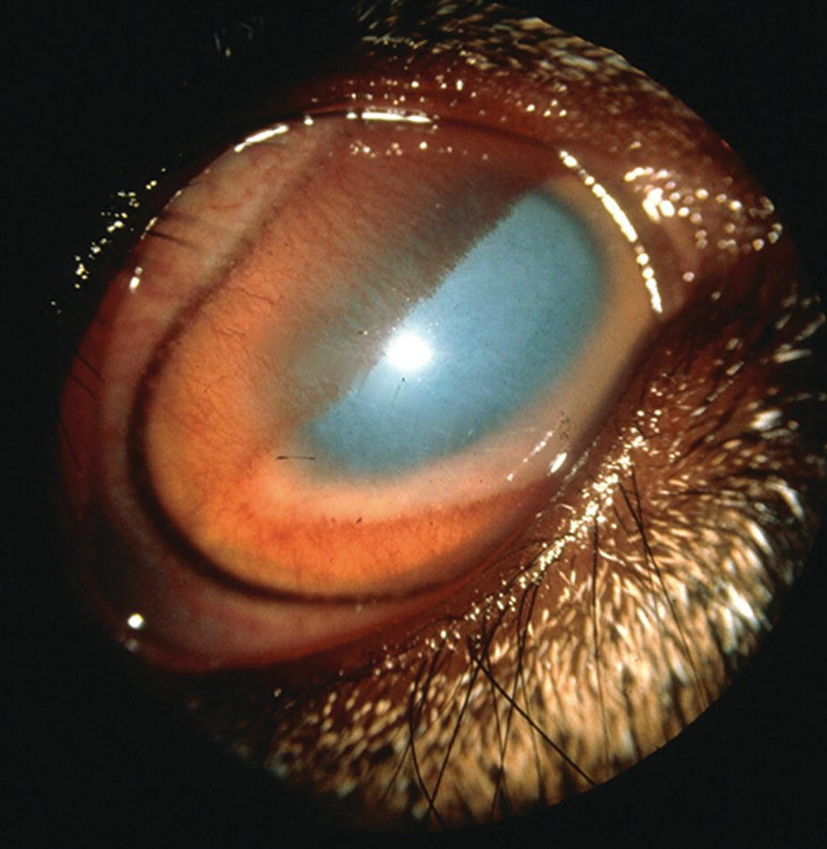 Photo displaying a ram's eye with Chlamydophila infectious keratoconjunctivitis.