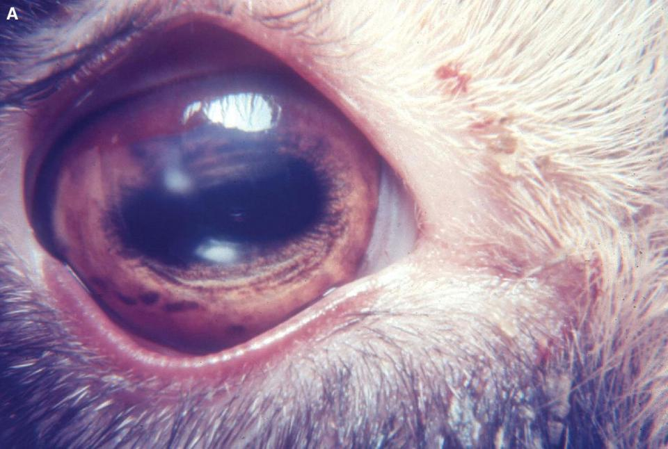 Photo displaying an early mycoplasmal infectious keratoconjunctivitis in a young goat's eye with the circumferential corneal neovascularization and corneal infection.