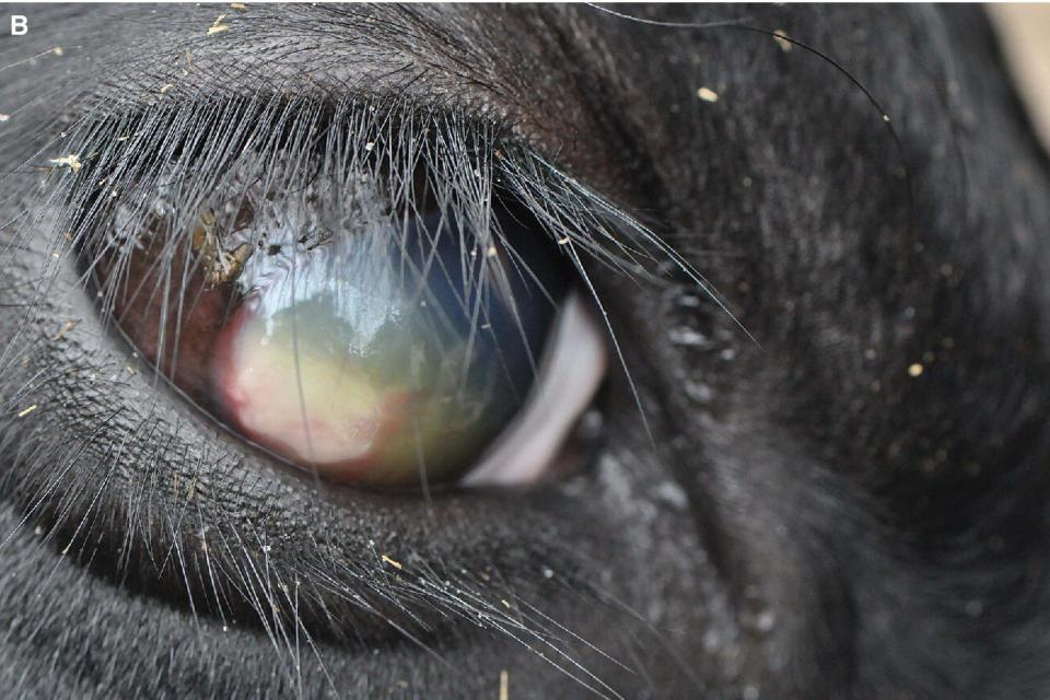 Photo of a cattle's eye displaying another case of IBK with an abscessed cornea, corneal edema, and peripheral vascularization.