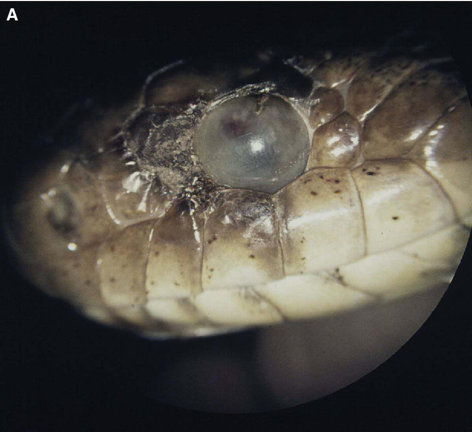 Photo of a snake's head with its eye having retained or opaque spectacle obstructing the cornea and pupil.