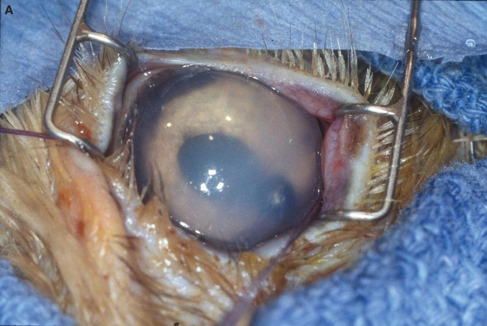 Photo of bald eagle's eye with lead pellet penetrating the cornea and lodging in the anterior chamber. Secondary iridocyclitis with considerable iridal swelling and fibrin are also present.