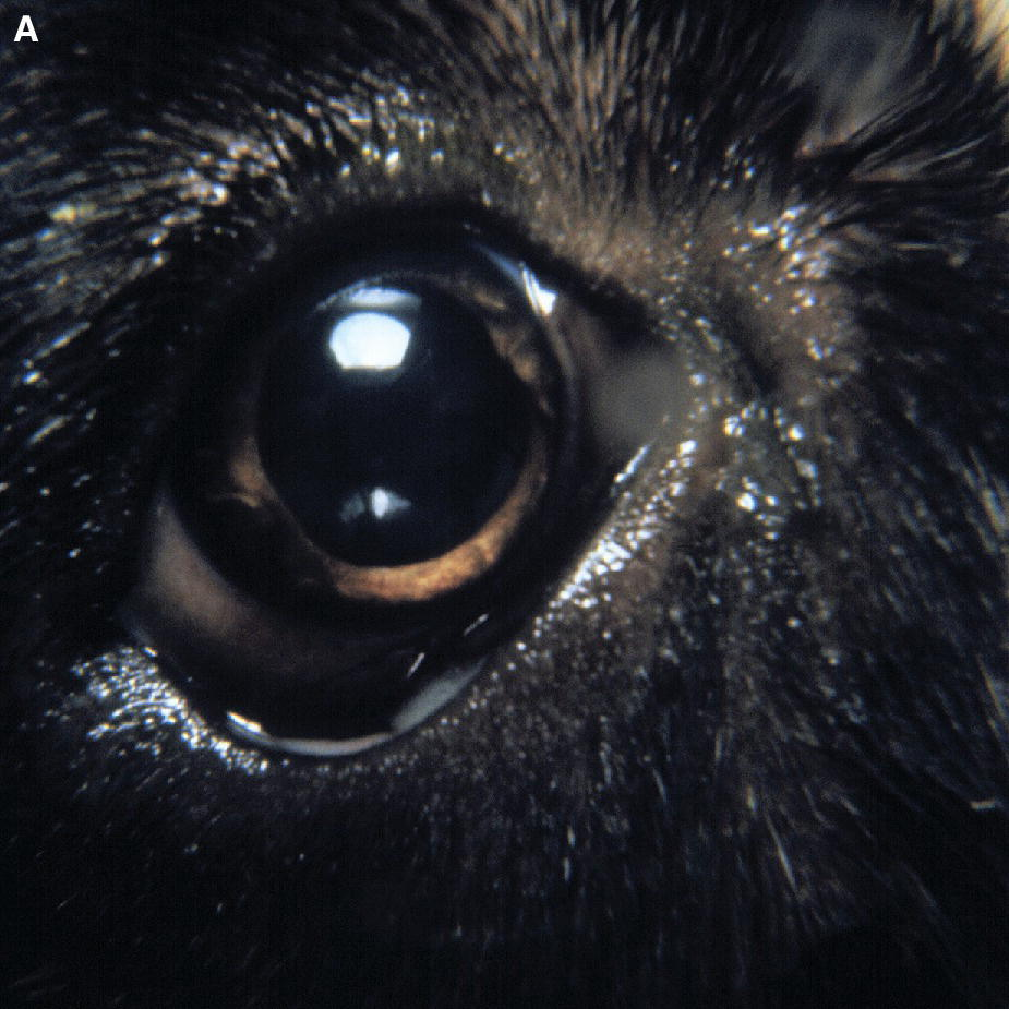 Photo of a canine's eye with mucopurulent conjunctivitis.