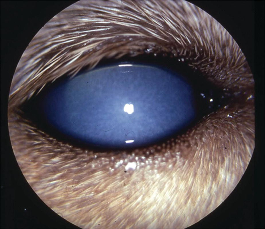 Photo of a canine's eye affected with iridocyclitis with profound corneal edema resulting from infectious canine hepatitis.