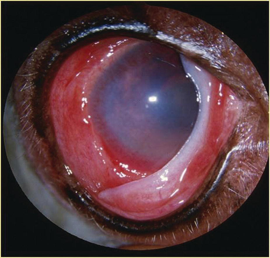 Photo of the eye of miniature Dachshund dog with anterior uveitis caused by canine brucellosis (Brucella canis) characterizing episcleral injection, corneal vascularization and edema, swollen iris, and miosis.