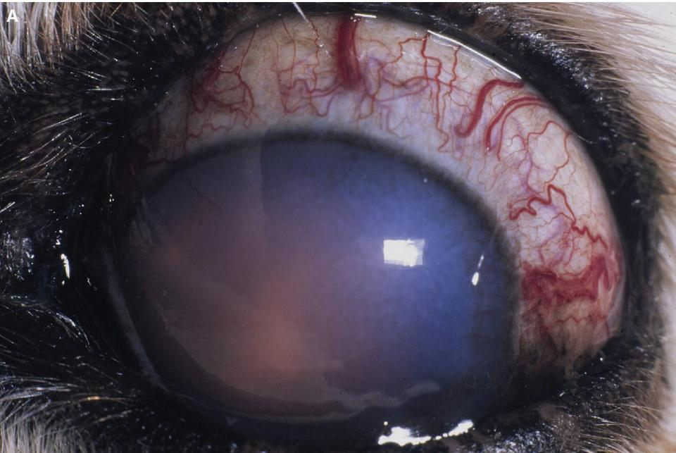 Photo of a dog's eye with anterior uveitis and secondary glaucoma caused by coccidioidomycos featuring inflammatory debris in the anterior chamber, corneal edema, episcleral congestion, and buphthalmos, etc.
