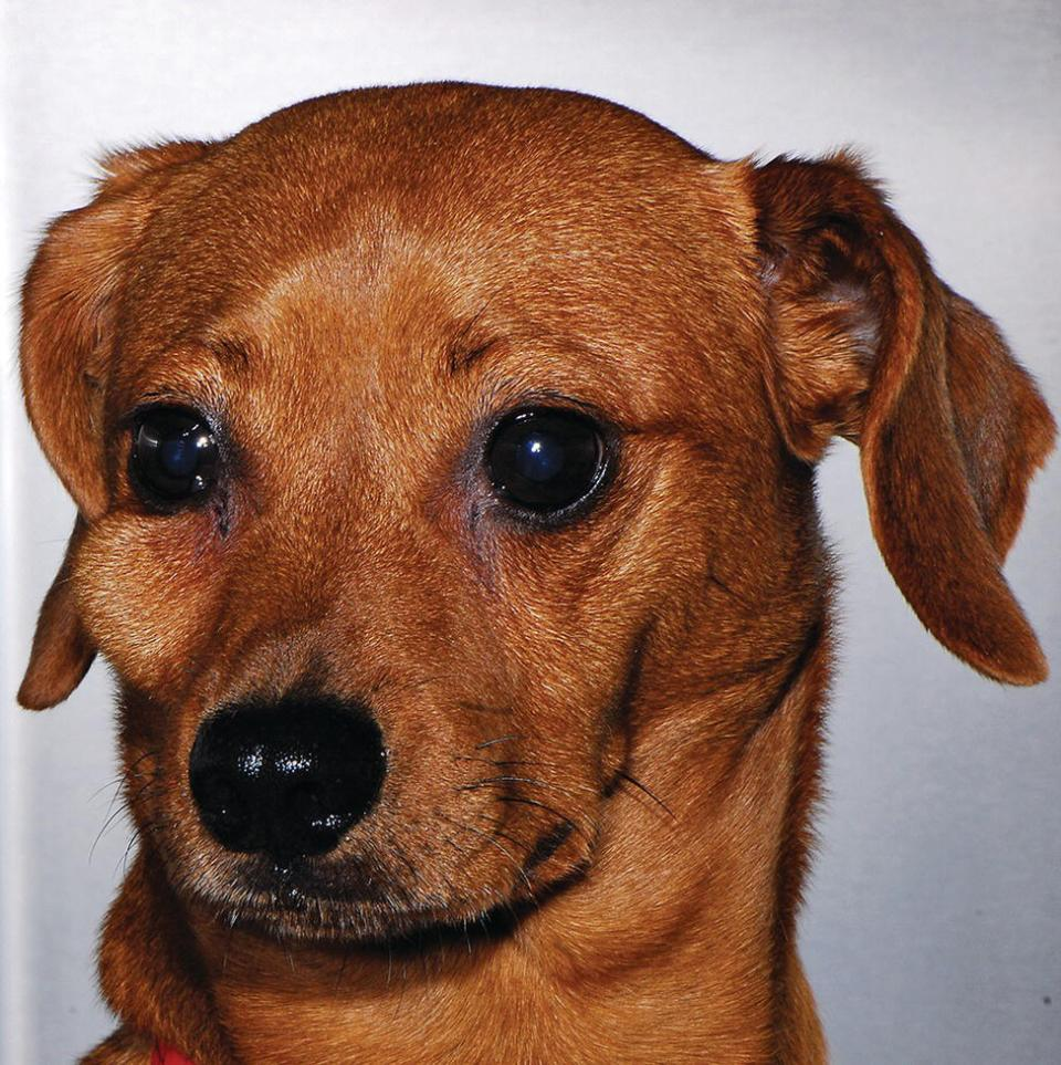 A dog with swelling beneath the right eye secondary to endodontic disease.
