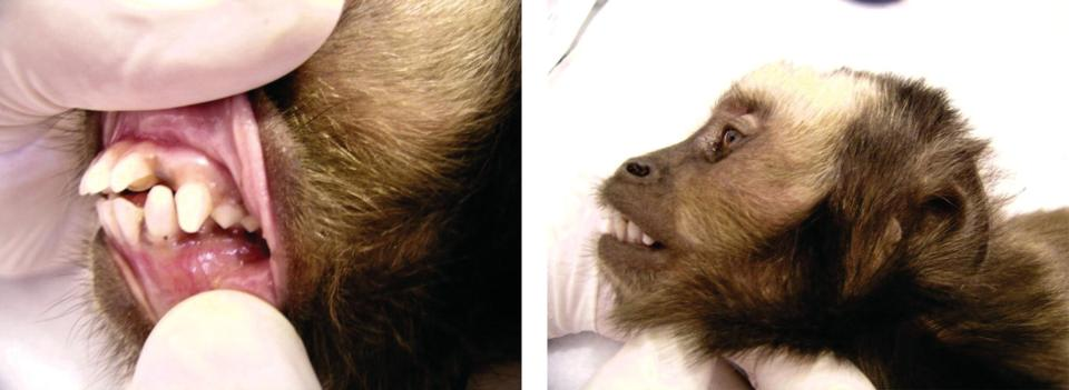 2 Photos displaying hands holding the monkey's lips exposing its teeth with maxillary incisor malocclusion (left), and monkey's head in lateral view facing leftwards, with subsequent skull deformity (right).