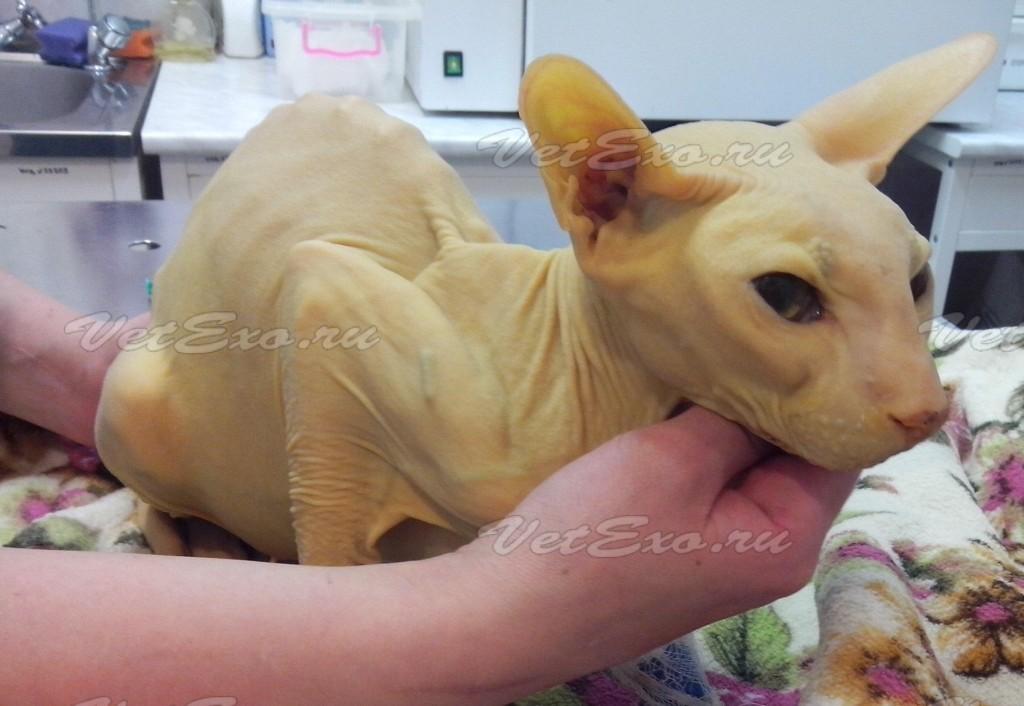 Холангит у кошек - Ветеринария