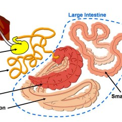 Horse Gi Diagram Mallory Ignition Wiring Chevy Intestines Vet In Training Intestine Photo Credit Veterinary Online