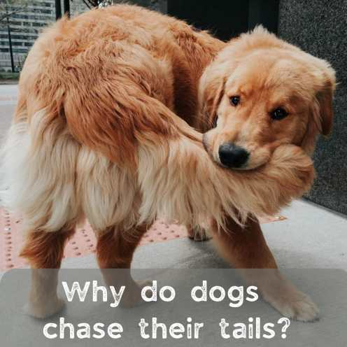 doggy chasing its tail