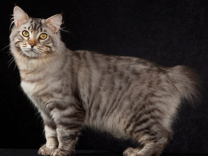 american bobtail cat for indian family.