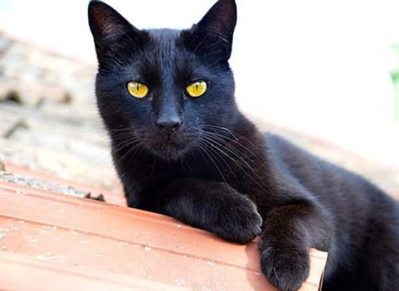 black color cat looks like black panther is considered as a best cat for indian environment.