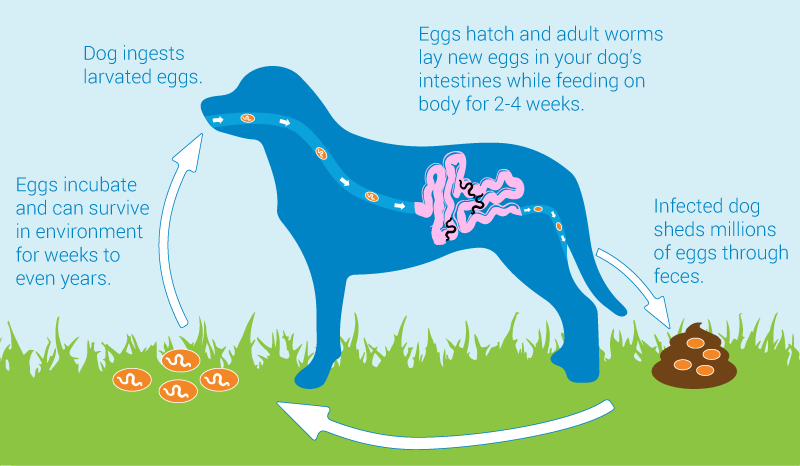 canine parvovirus Infection cycle that cause death in dogs