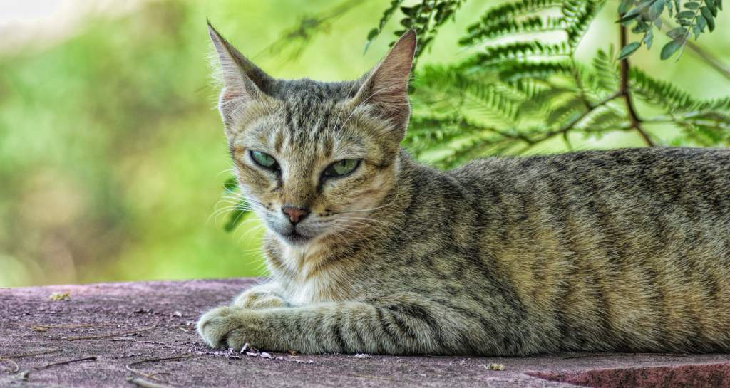 Indian Billi adapt indian climate well