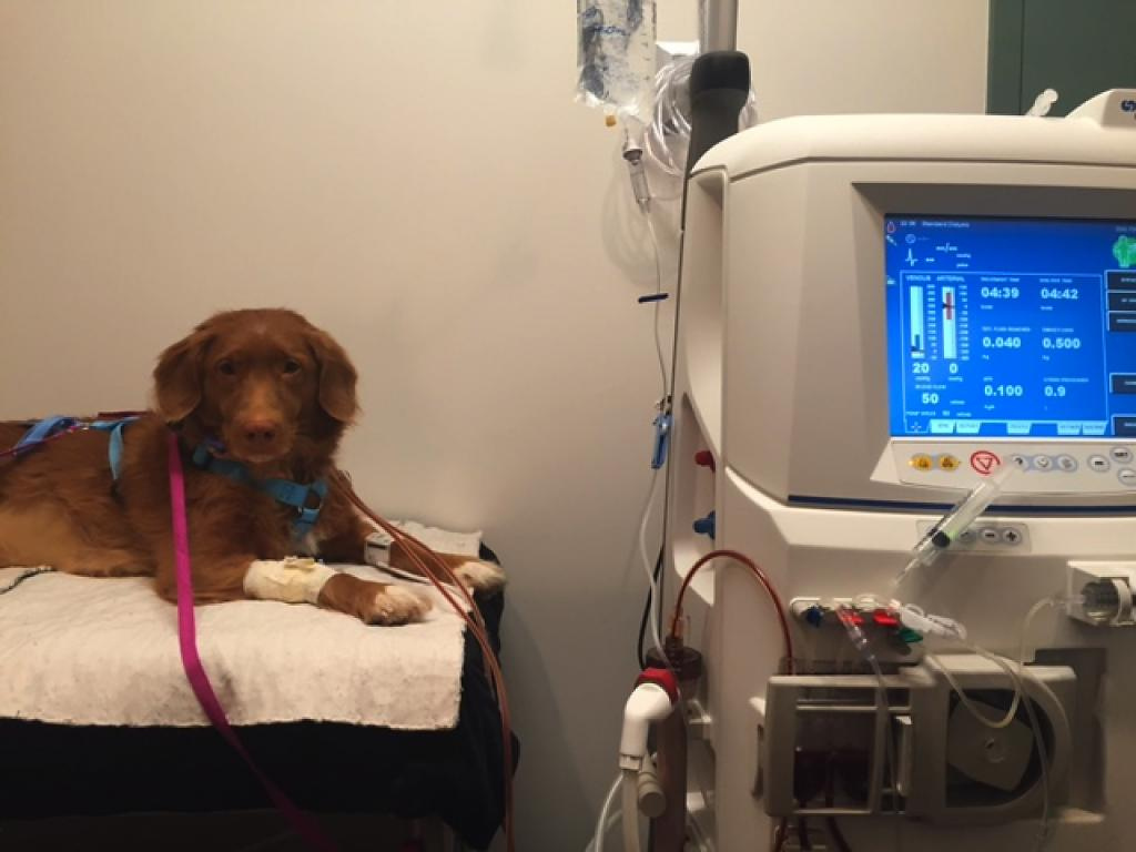 chronic kidney diseases can cause death in your dogs along with many problems