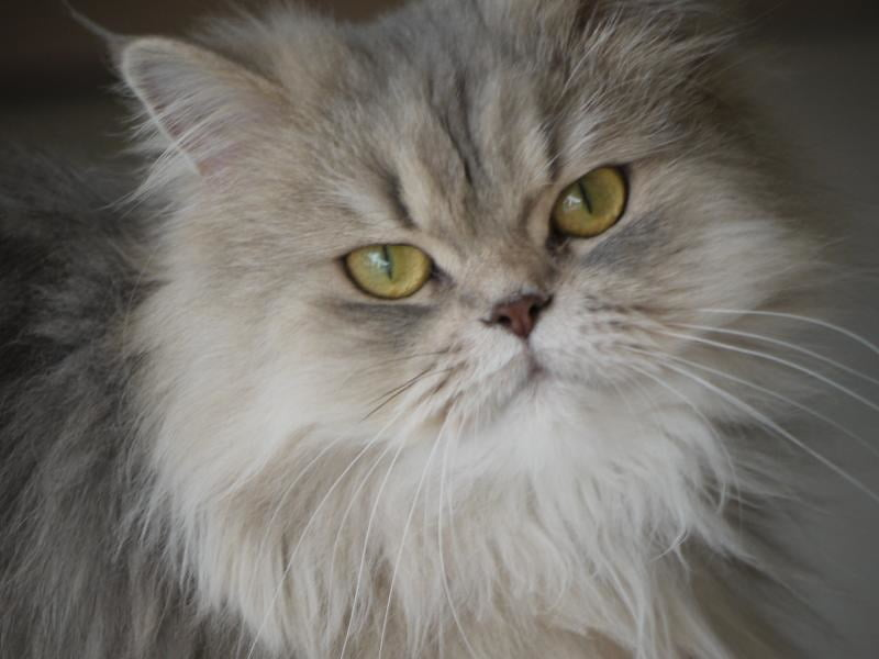 persian cat as a best cat breed in india, loved by many people