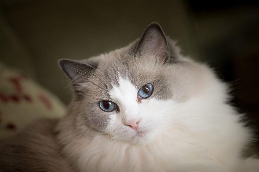 Rag doll cat in indian homes