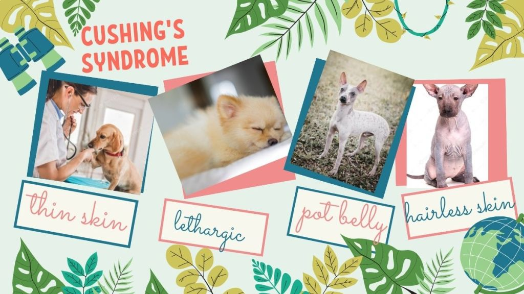 Cushing's syndrome in dogs