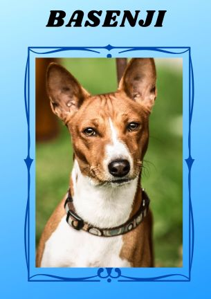 the dog breed Basenji knows how to groom itself, hence it doesn't smell. it has fine coat that is why it doesn't shed.