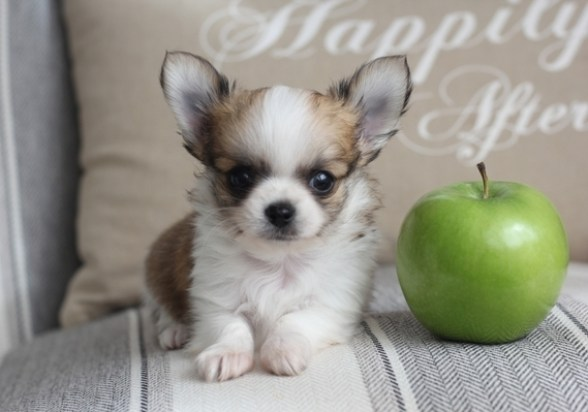 What Is an Apple Head Chihuahua?