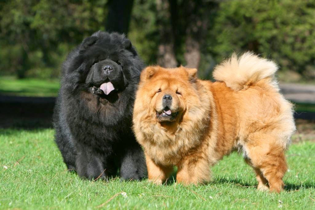 chow-chow breeds