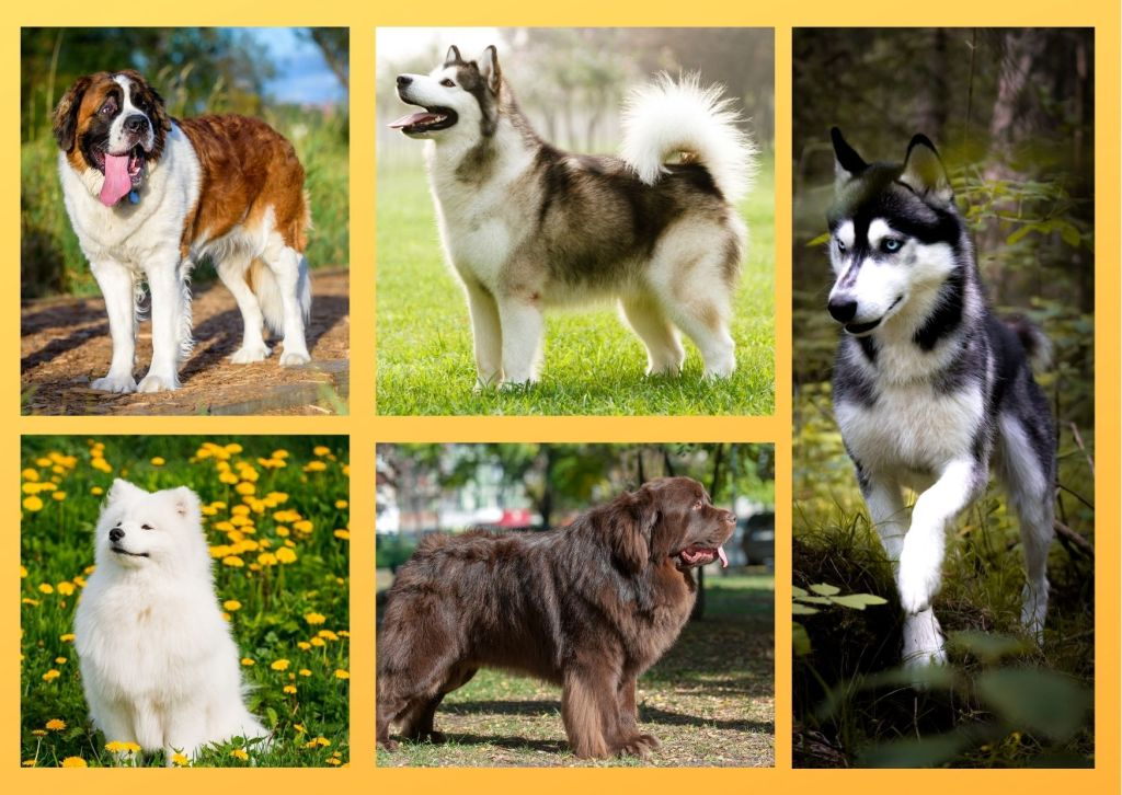 Dog breeds that love cold weather have thick double coat therefore they easily thrive in cold region.