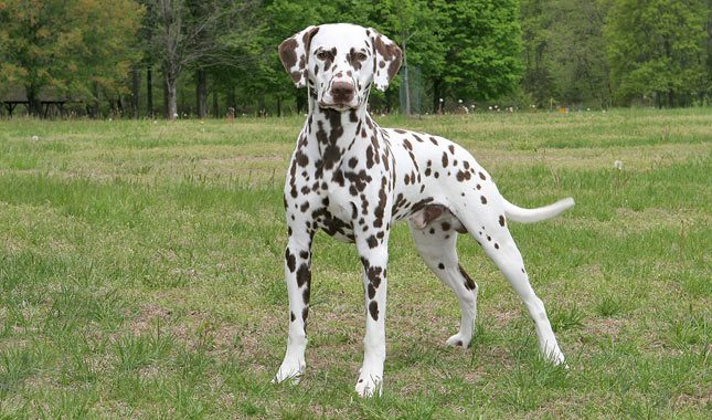 Dalmatian dog is a perfect breed