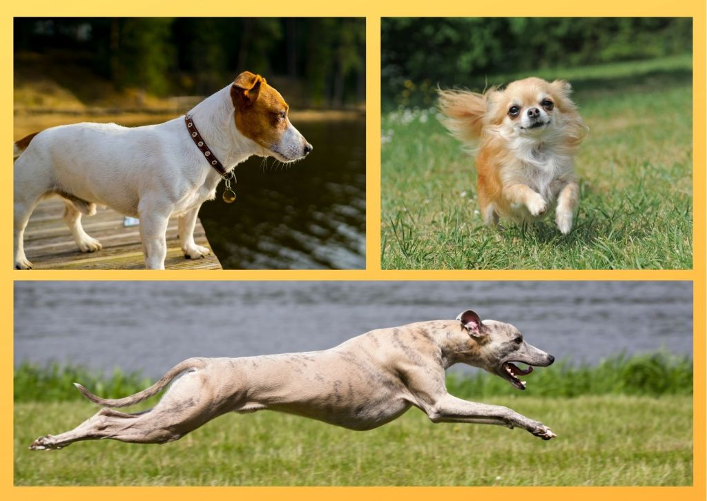 dog breeds that love hot weather. There body structure help them to dissipate heat from their body easily.