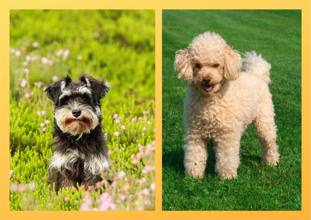 Hypoallergic dog breeds produce less dander. Hence the people allergic to dogs face less allergic reactions with these dogs.