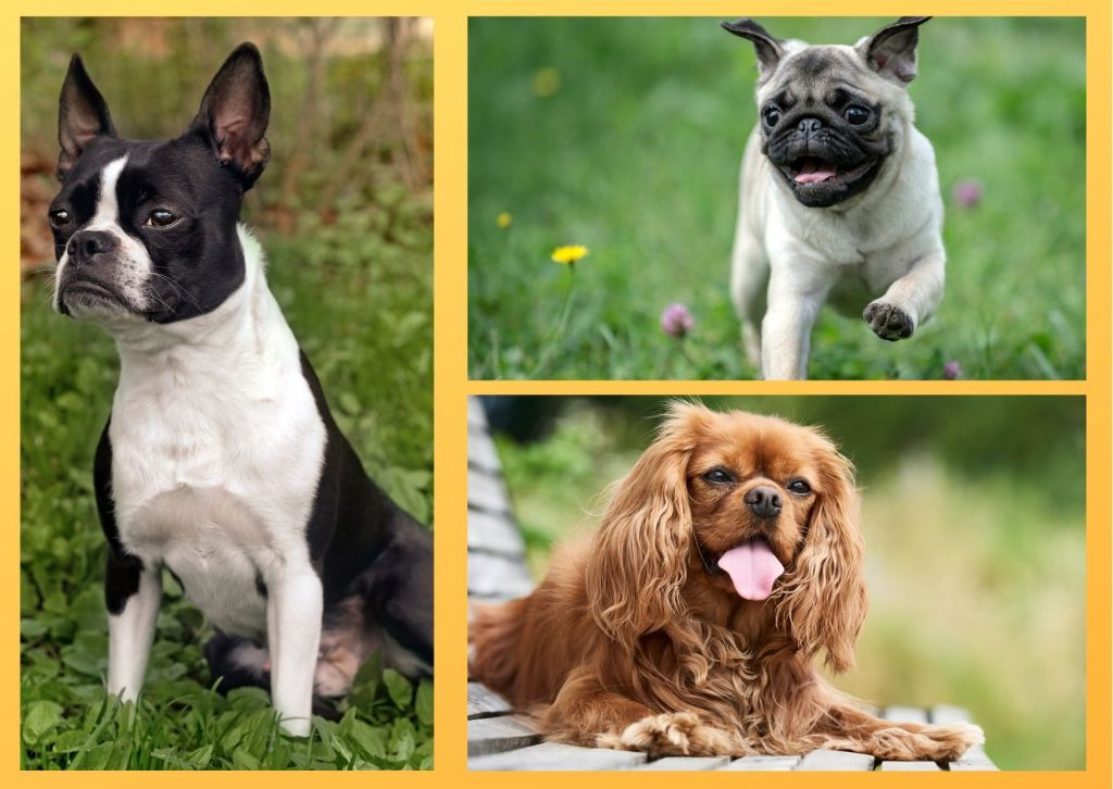 Dog breeds for seniors should suitable for seniors. They must require less exercise.