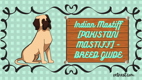 Indian mastiff- breed guide