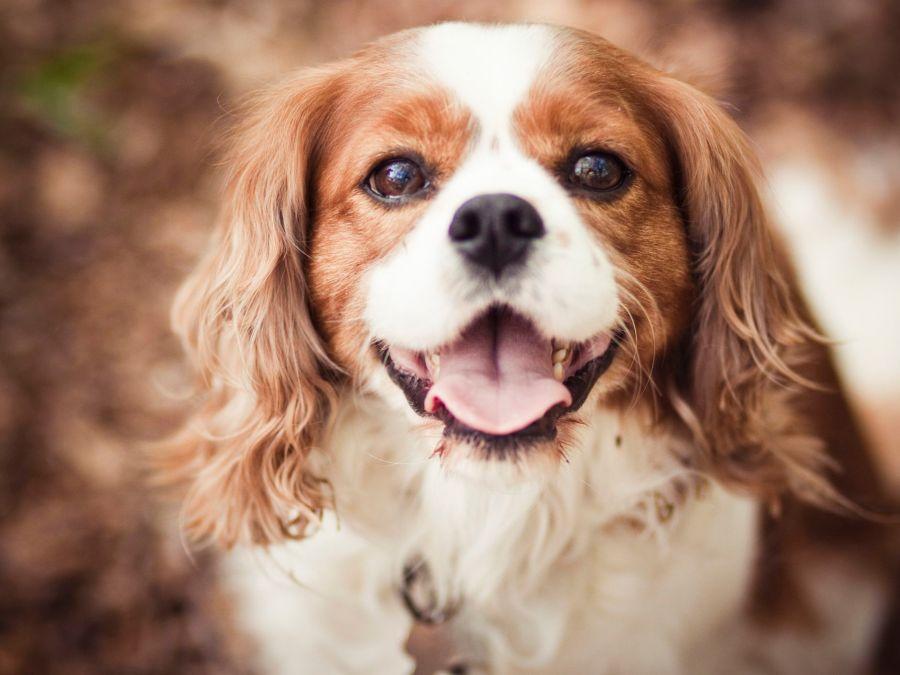 raza de perro Cavalier King Charles Spaniel