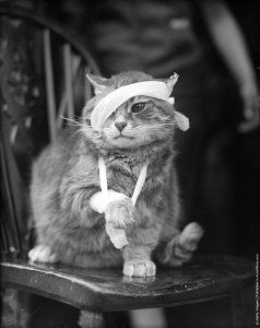 Переломы, растяжения, вывихи и ушибы у кошек. Гематома у котов и кошек Ушиб внутренних органов у кошки лечение