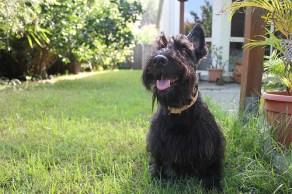 Scottish Terrier Picture