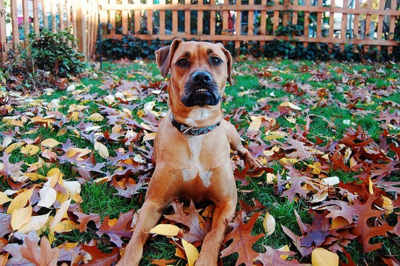 Dog in Leaves for Fall Pet Tips Article