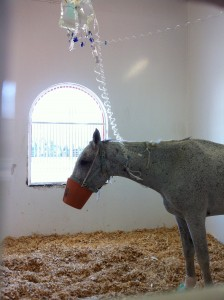 Horse in hospital at Dubai Equine Hospital