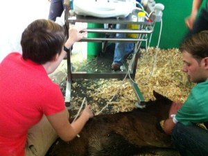 Shetland pony being ultrasounded at Dubai Equine Hospital