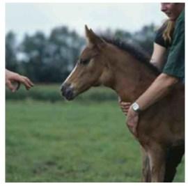 equine strangles, foal