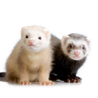 Two ferrets