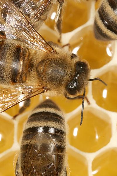 The Dance Language of Honeybees