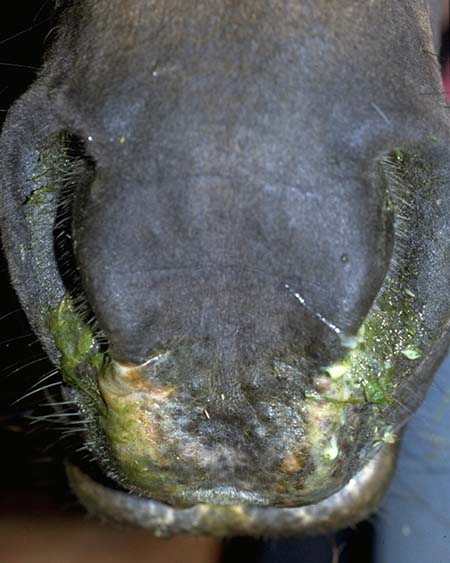 Infection Nose