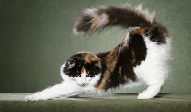 norwegian forest cat breed