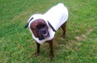 7 Reasons We Love Boxers  Cute Dog Breed Photos