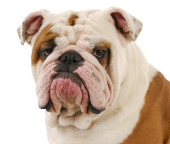 Cute Baby Bulldog Wallpaper Why The Bulldog Is In Serious Trouble As A Breed