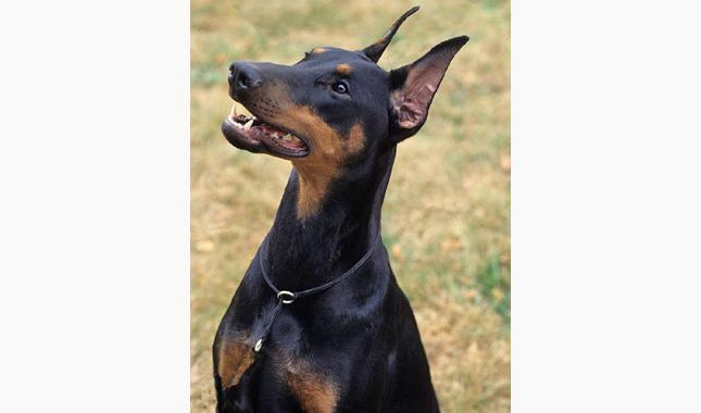 doberman pinscher dog breed
