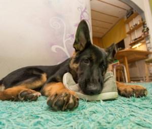 Resultado de imagen para 犬  german shepherd かむ靴